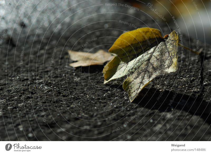 Herbsthärte Baum Blatt schwarz gelb grau Wachstum trist Ende Asphalt fallen Ahorn Monochrom dehydrieren sentimental