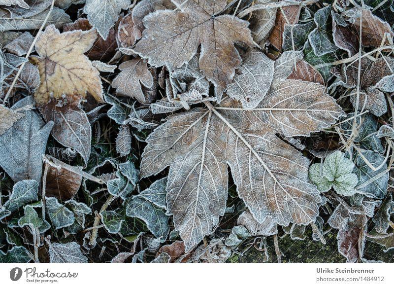 Leicht frostig 3 Natur Pflanze Blatt Winter kalt Umwelt Herbst natürlich Gras Tod Garten liegen Eis nass Vergänglichkeit Wandel & Veränderung