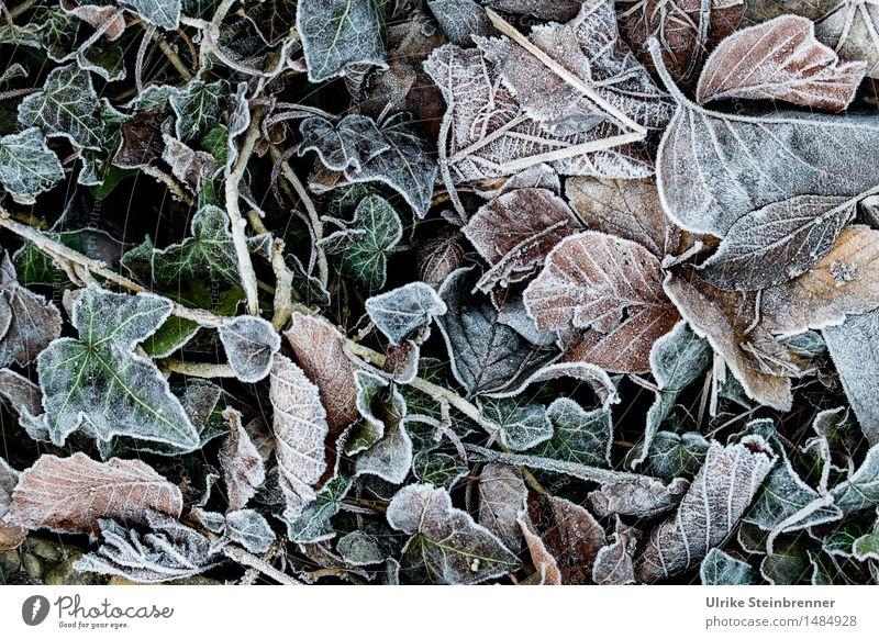 Leicht frostig 2 Umwelt Natur Pflanze Herbst Winter Eis Frost Gras Blatt Garten frieren liegen dehydrieren kalt nass natürlich trocken Vergänglichkeit
