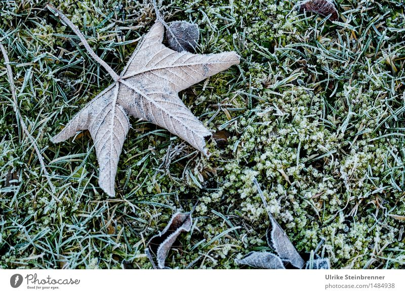 Leicht frostig 1 Umwelt Natur Pflanze Herbst Winter Eis Frost Gras Blatt Garten frieren liegen dehydrieren kalt nass natürlich trocken Vergänglichkeit