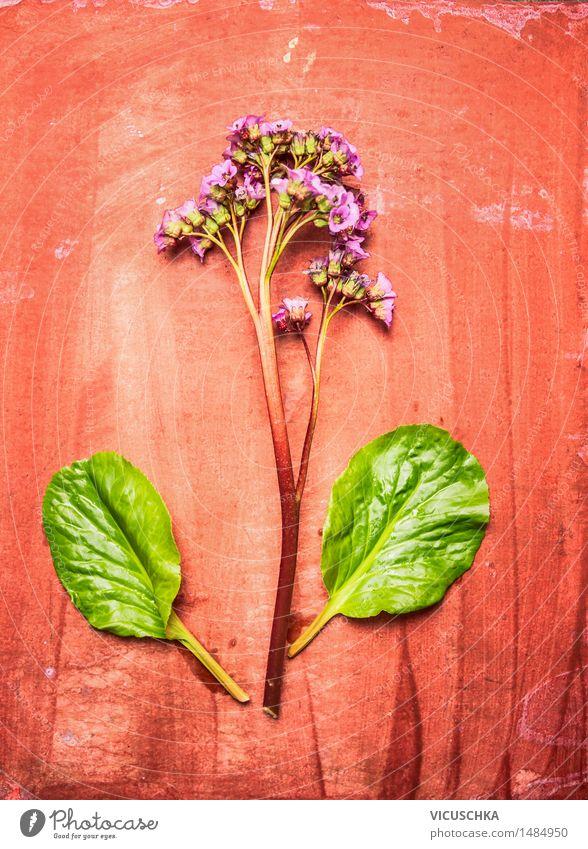 Heartleaf bergenia oder Elefant-Ohren Pflanze Lifestyle Stil Design Sommer Garten Tisch Natur Frühling Blume Blatt Blüte Blühend rosa Bergenie ornamental