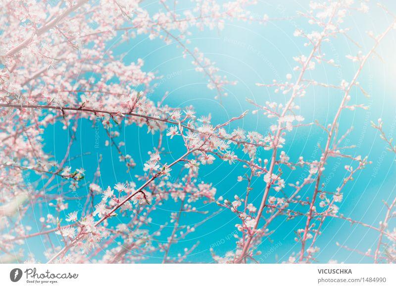 Kirsche Sakura-Blüten über Himmel Hintergrund Natur Pflanze Frühling Stil Hintergrundbild Garten rosa Design Park Blühend Schönes Wetter weich Asien