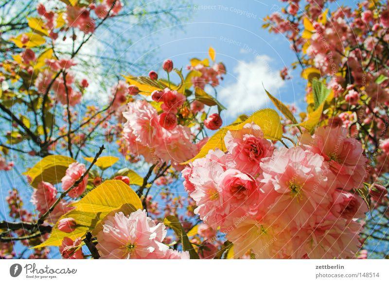 Gegenwehr Frühling Blüte Blühend Blume Kirschblüten Kirsche Blütenblatt Hoffnung Himmel Gartenbau Landwirtschaft Gärtner grün Pflanze schön edel