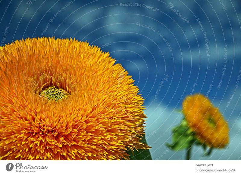 Sonnenblume gefüllt - Helianthus annuus Sommer Blume Blüte Himmel Pflanze gelb Frühling