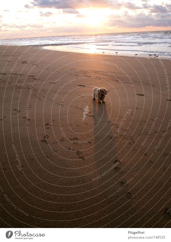 Kleiner Hund - Großer Schatten Freiheit Sonne Strand Meer Sand Himmel Wolken Herbst Wärme Fußspur Bewegung glänzend stehen warten frei lang Einsamkeit Physik
