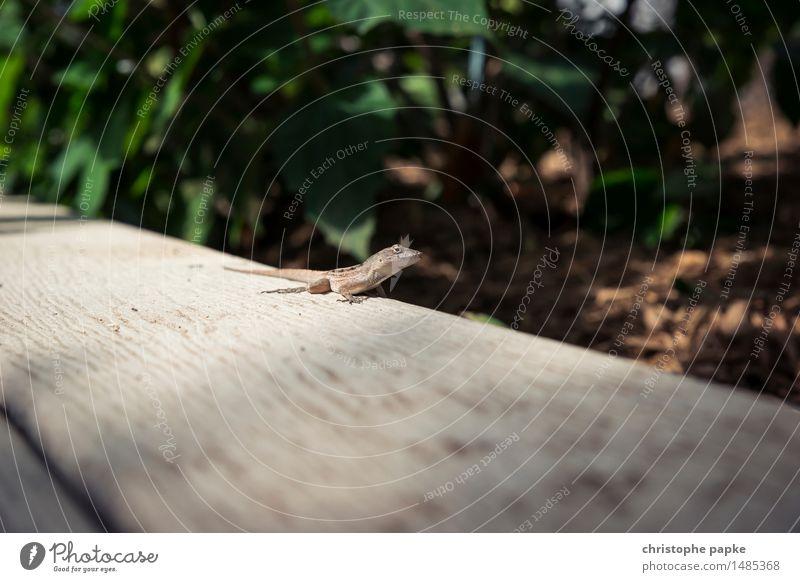 Rango Ferien & Urlaub & Reisen Ferne Umwelt Natur Sonnenlicht Schönes Wetter Wärme Pflanze Baum Garten Park Urwald Florida USA Tier Wildtier Tiergesicht Gecko