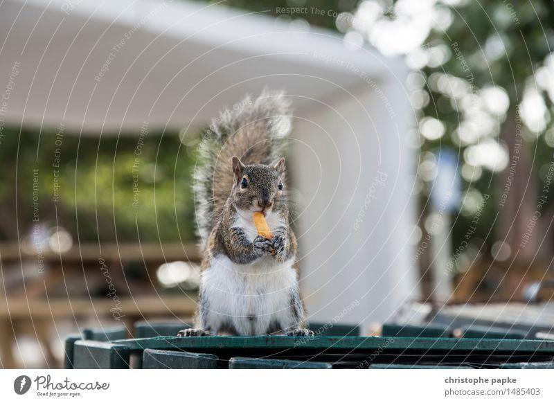 yummie Tier Zufriedenheit Wildtier stehen niedlich Freundlichkeit Neugier festhalten USA Fell Tiergesicht Fressen frech Pfote Eichhörnchen Müllbehälter