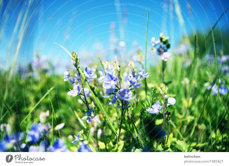 endlich isser da! Natur Pflanze Himmel Frühling Sommer Schönes Wetter Blume Gras Sträucher Blatt Blüte Veronica Garten Park Wiese Blühend Duft schön sommerlich