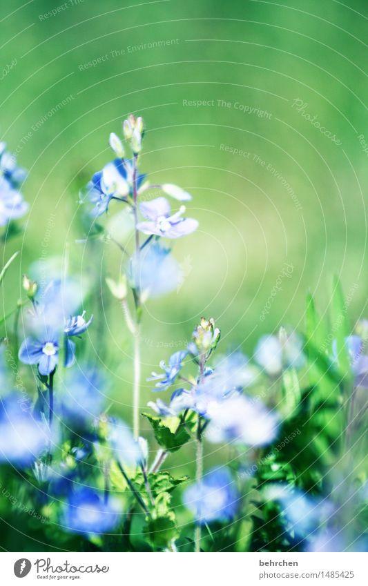 summertime Natur Pflanze Frühling Sommer Schönes Wetter Blume Gras Blatt Blüte Veronica Garten Park Wiese Feld Blühend Duft verblüht Wachstum frisch schön klein