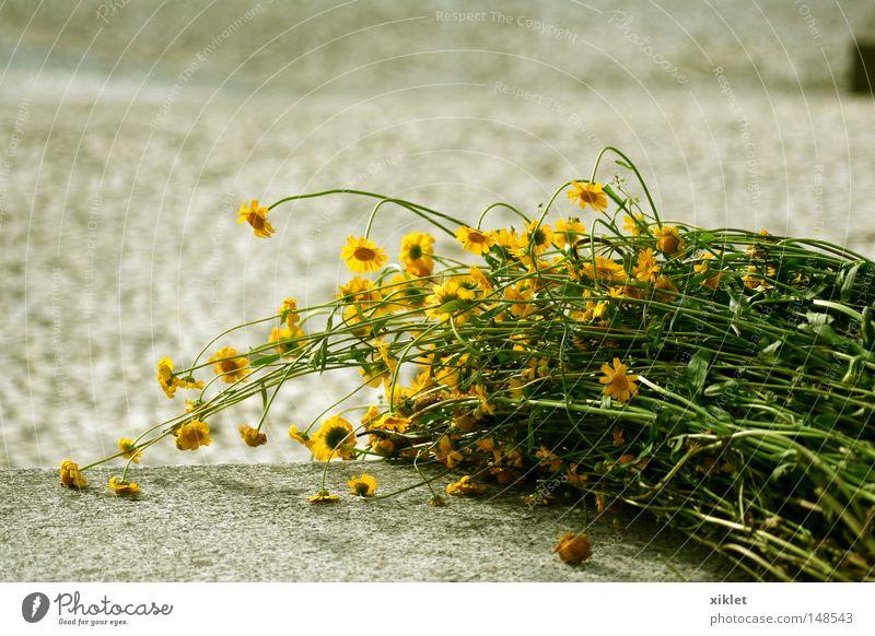 grün Blume gelb Traurigkeit wild Boden Leidenschaft Nostalgie Überraschung vergessen Ringelblume