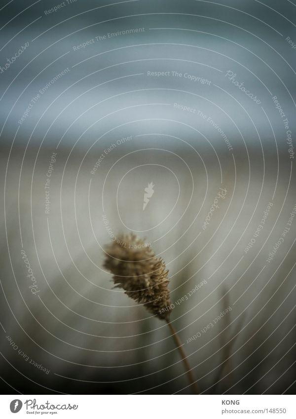 mikro offen Natur Pflanze Strand Einsamkeit Herbst Gras grau Blüte See Wachstum einzeln weich nah Stranddüne Ostsee Düne