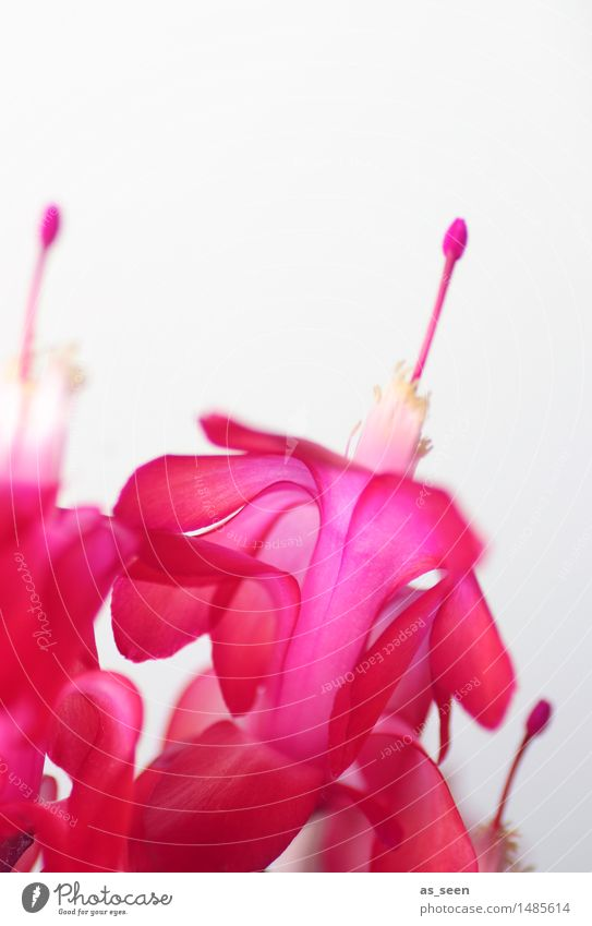 Kakteenblüten Design exotisch Leben Natur Pflanze Blume Blüte Topfpflanze Kaktus Blütenblatt Staubfäden Pollen fruchtbar berühren Blühend Wachstum ästhetisch