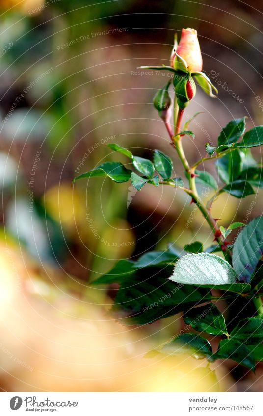 Rose weiß zart Frieden sanft schön ästhetisch Blume Blüte edel rosa Natur Unschärfe Herbst Sommer Blühend November rein pflücken Blumenstrauß Pflanze ruhig