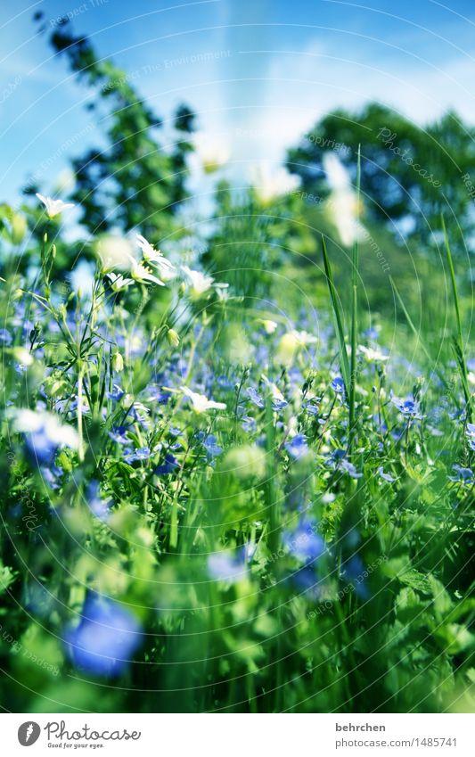 käfer sein Natur Pflanze Himmel Sommer Schönes Wetter Blume Gras Blatt Blüte Wildpflanze Veronica Garten Park Wiese Blühend Duft Erholung wandern schön