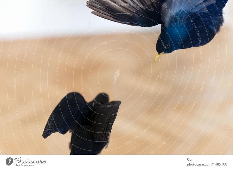 vögel Ausstellung Museum Umwelt Natur Tier Wildtier Totes Tier Vogel Tiergesicht Flügel 2 fliegen stagnierend Tod Farbfoto Menschenleer Textfreiraum links
