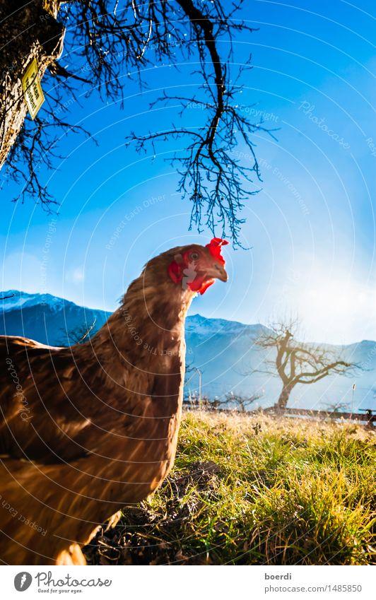 don't mess with the chicken Tier Haustier Nutztier Vogel Hühnervögel 1 nerdig Neugier Tierliebe skurril Stimmung Fototechnik Haushuhn Farbfoto Außenaufnahme Tag