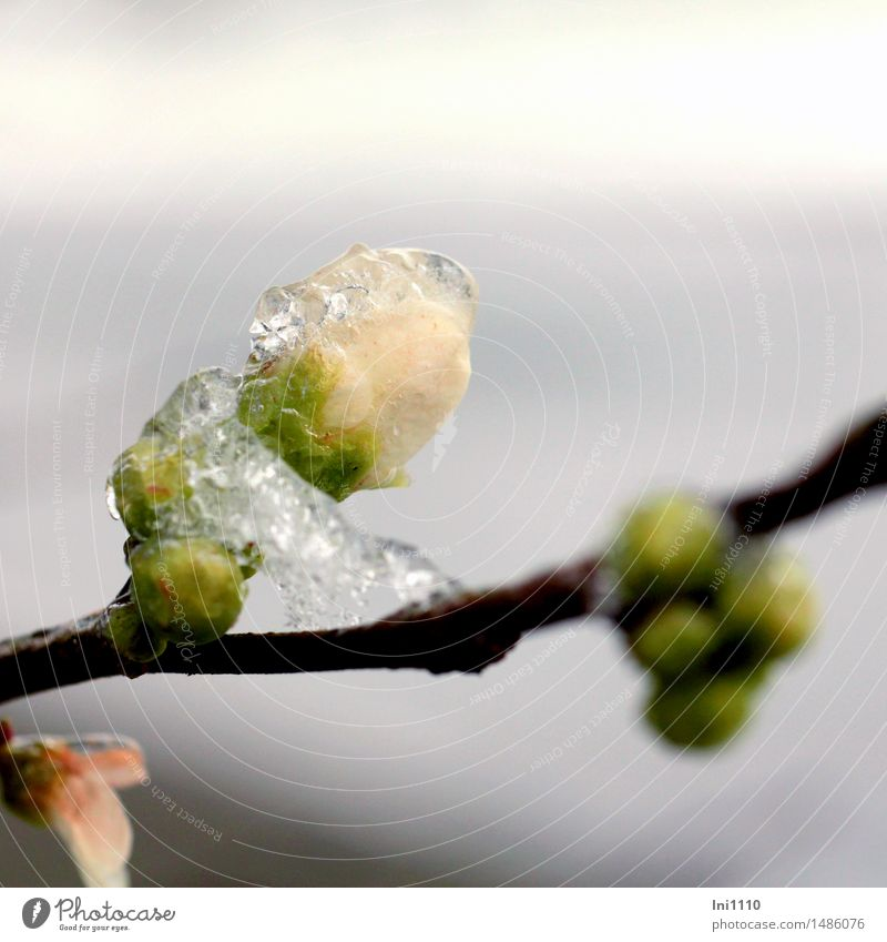 geeiste Quittenblüte Natur Pflanze Wasser Wassertropfen Winter Wetter Schönes Wetter Regen Eis Frost Sträucher Blüte vereiste Knospe der Zierquitte Garten Park