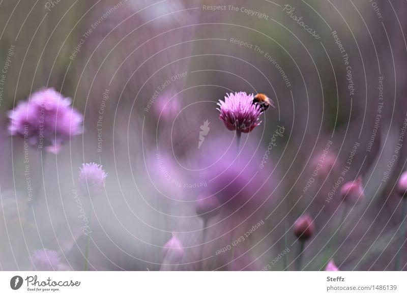 Sommerliche Idylle im Garten Schnittlauch Schnittlauchblüte blühender Schnittlauch heimische Pflanze Biene fleißige Biene violette Blüten lila Blüten