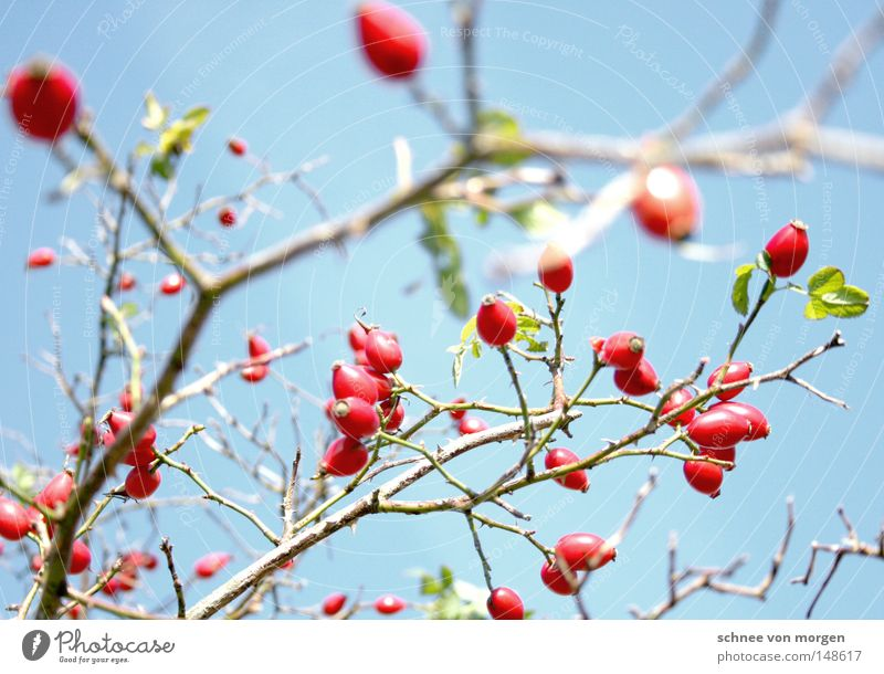 zart besaitet Sonne Beeren Hagebutten Ast Zweig Frühling Sommer Ernte reif grün Reifezeit Wachstum Pflanze Biologie Himmel blau rot hell Hundsrose