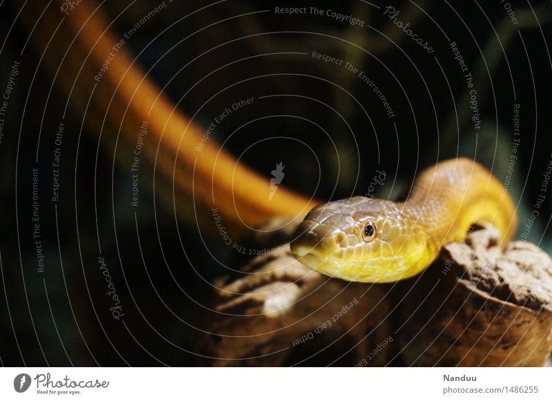 sssssss Tier Wildtier Schlange Tiergesicht 1 beobachten Blick ästhetisch dunkel gold beige Farbfoto Nahaufnahme Textfreiraum links Textfreiraum oben Tag