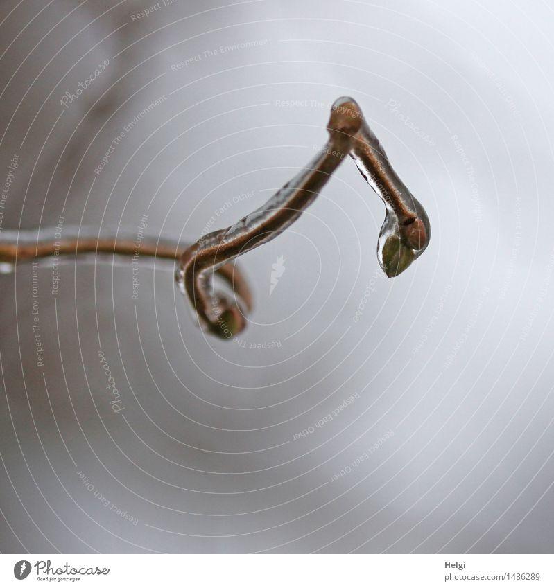 Eis am Stiel mit Knoten... Umwelt Natur Pflanze Winter Frost Sträucher Zweig Blütenknospen Garten frieren außergewöhnlich einzigartig kalt natürlich braun grau