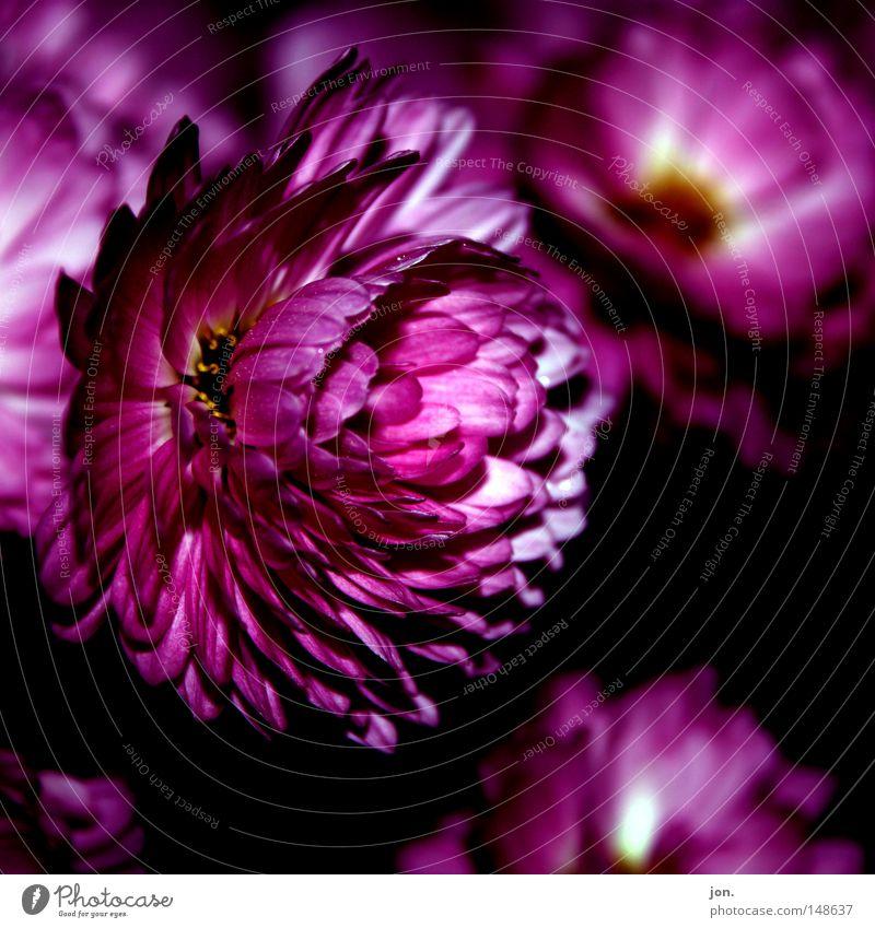 Flowerpower Blume rot rosa Herbst November dunkel Quadrat Sommer Frühling mehrfarbig ruhig Makroaufnahme Nahaufnahme flower dark