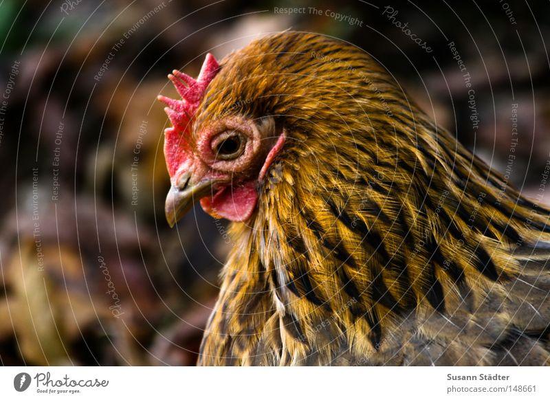 Boaaaaggg!Boaaaaggg! Wiese Vogel frisch Feder Zoo lecker Ei Mittagessen Haushuhn Salz Kochsalz Pfeffer Chinese Hahn Asiate Kamm