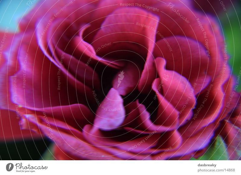 Blume Macro Rose rot Farbe
