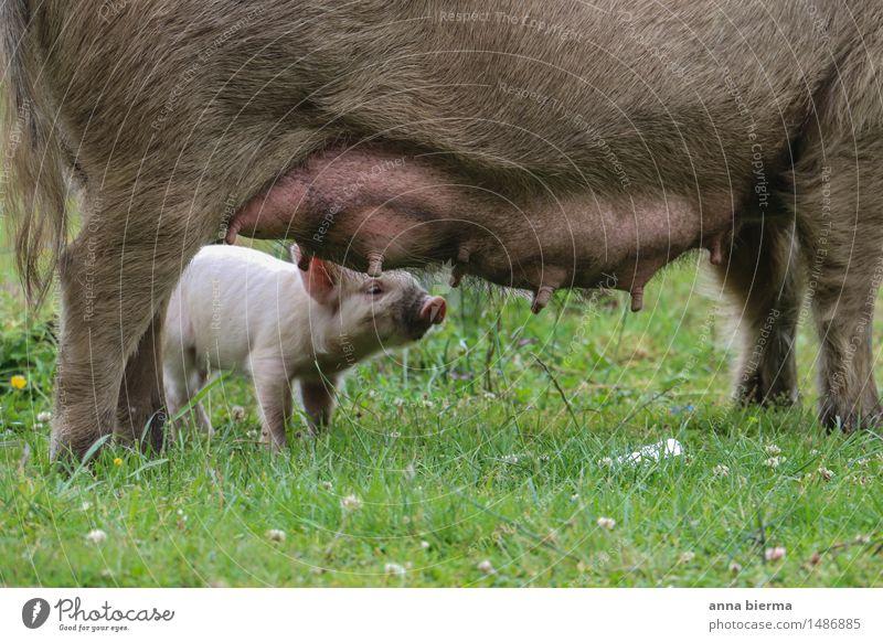 Ferkelhimmel Natur Erholung ruhig Tier Tierjunges Glück Lebensmittel Ernährung genießen trinken Landwirtschaft rein Bauernhof Bioprodukte harmonisch