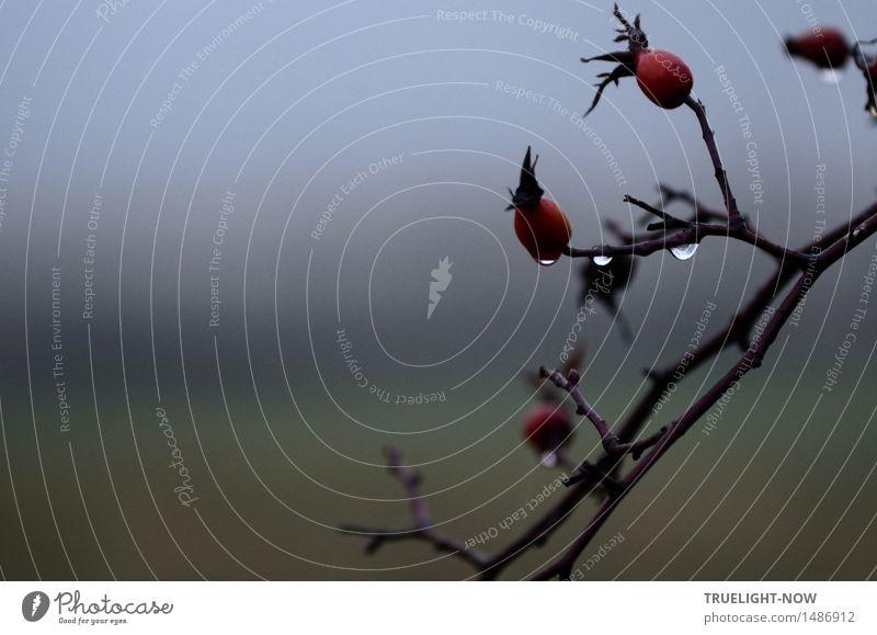 Im Nebel-Land Umwelt Natur Landschaft Pflanze Urelemente Luft Wasser Wassertropfen Winter schlechtes Wetter Sträucher Wildpflanze Hagebutten Park Feld Tropfen