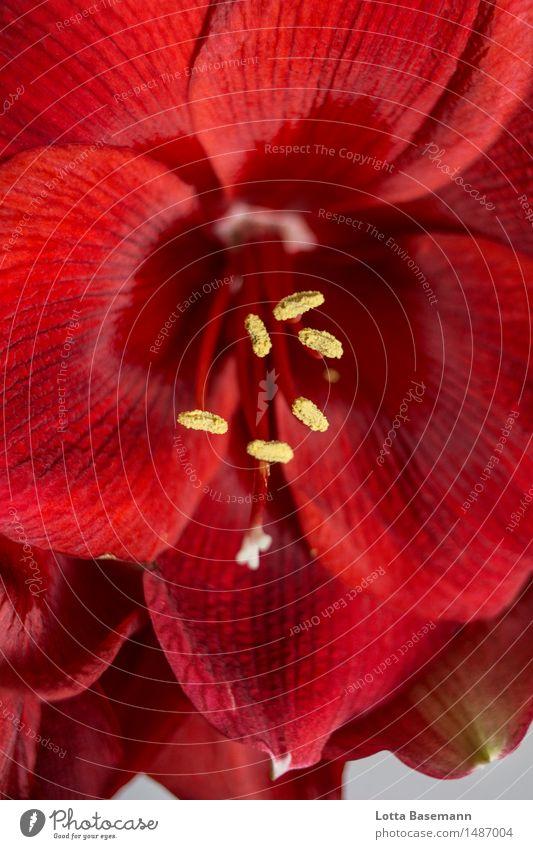 rote Amaryllis schön Sinnesorgane Duft Winter Dekoration & Verzierung Umwelt Natur Pflanze Blume Blüte Topfpflanze Amaryllisgewächse Blühend Liebe Sex
