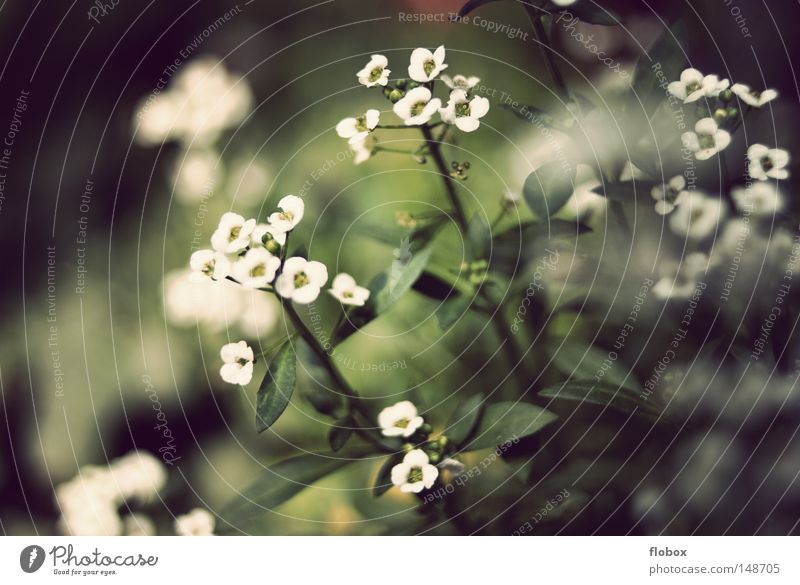 Blümchen-Tag Blume zart weich Blüte Pflanze Wiese Wiesenblume grün weiß Botanik Blumenbeet Sommer Frühling schön Unschärfe Dekoration & Verzierung