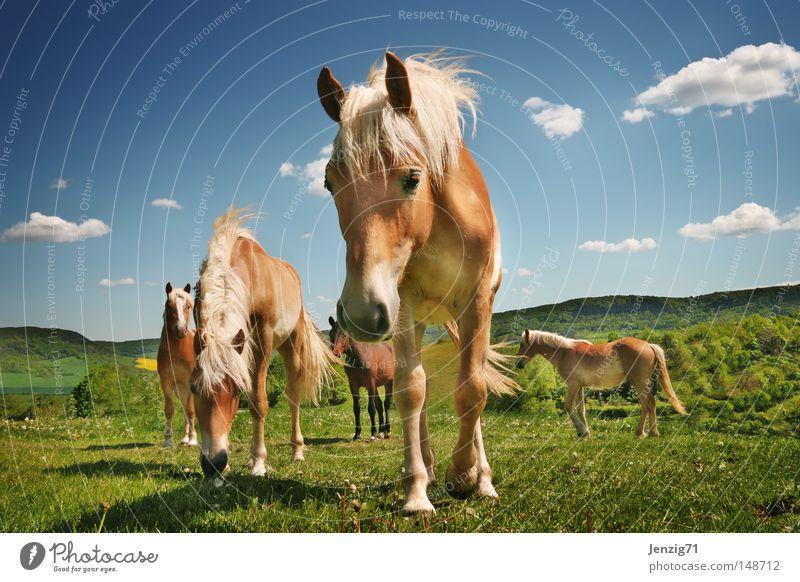 Haflinger. Himmel Wolken Wiese Pferd Weide Säugetier Reiten Herde Mähne Huf Haflinger Reiterhof Pferdekopf Pferdezucht