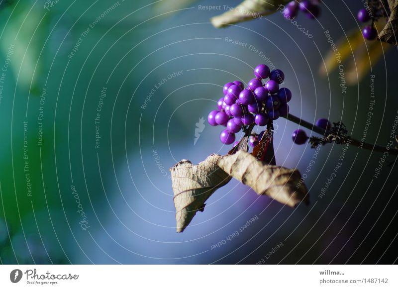 chinesische purpurschönfrucht violett Beeren purpur Beerensträucher Lippenblüter Liebesperle