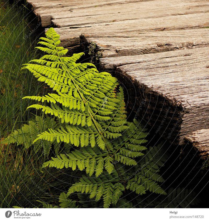 frisches grünes Farnblatt wächst an einem Holzsteg Wege & Pfade Holzbrett alt verwittert Eiche Moor Hochmoor Holzstruktur braun Pflanze Natur Blatt Stengel
