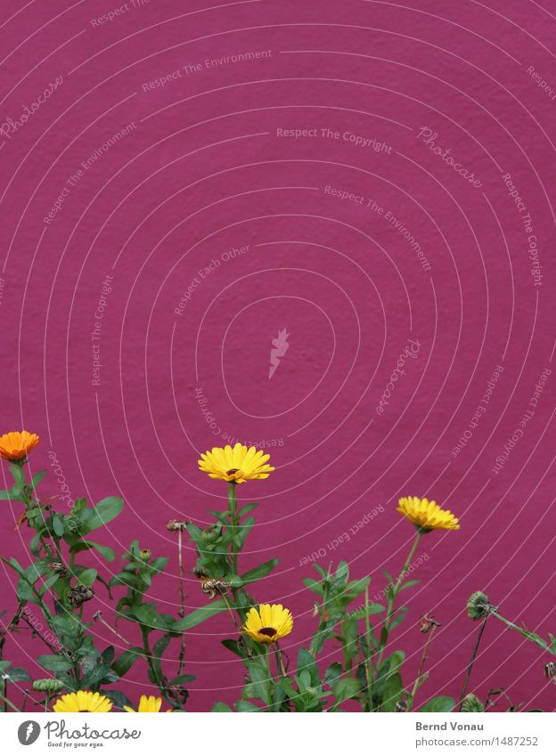 Frohnatur Pflanze Blume Haus Mauer Wand schön gelb grün rosa Kontrast grell stark Wachstum lautstark Putzfassade rau Vorgarten Farbfoto Außenaufnahme