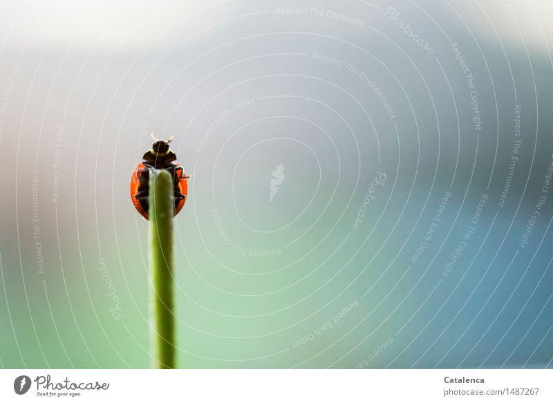 Zum Abflug bereit Natur Pflanze Tier Luft Stengel Wildtier Käfer Marienkäfer Insekt 1 fliegen krabbeln ästhetisch blau grün rot schwarz Glück Entschlossenheit