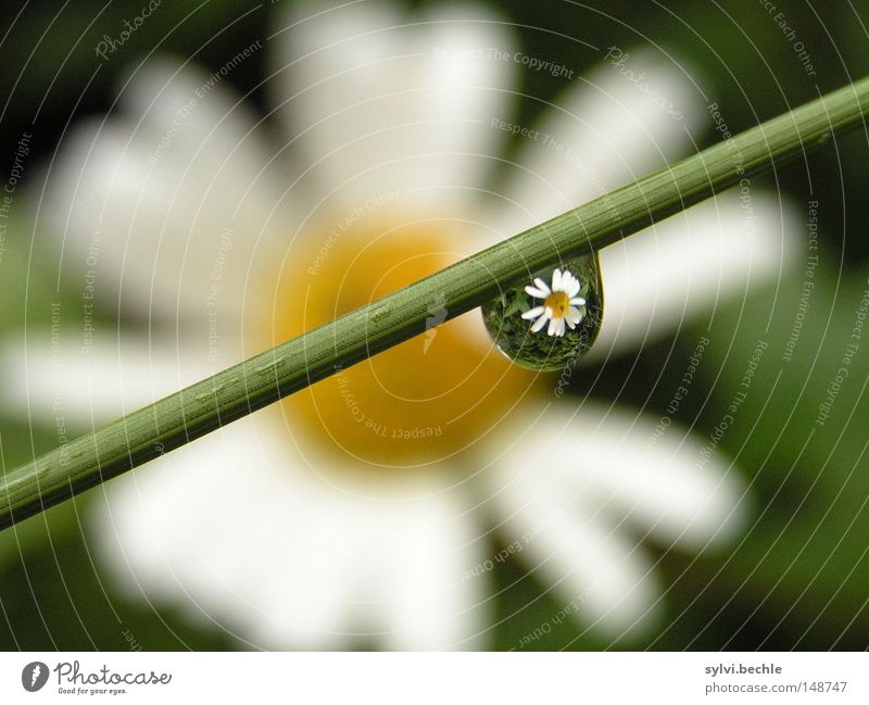 spiegelung Natur Wasser schön weiß Blume grün gelb Blüte Gras Frühling Regen Beleuchtung Wetter nass Wassertropfen Stengel