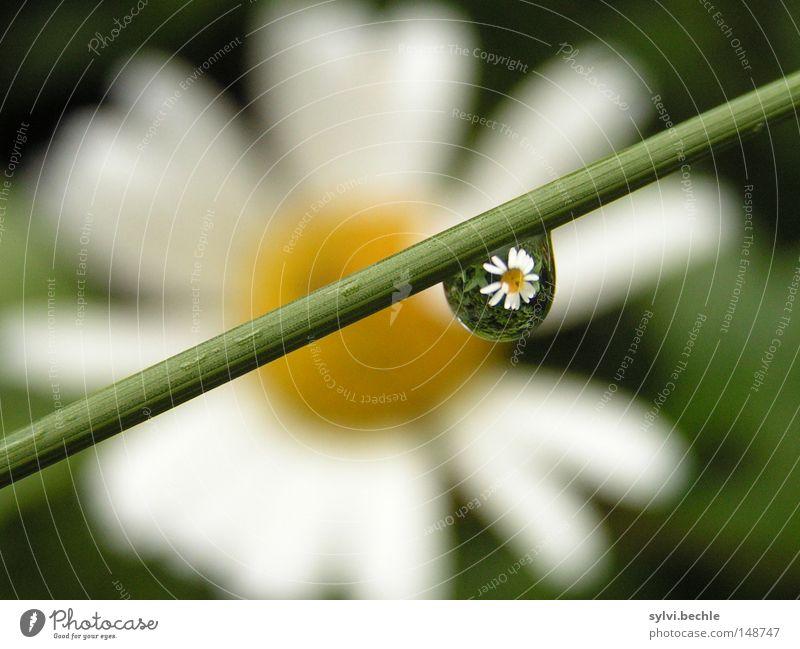 spiegelung schön Natur Wasser Wassertropfen Frühling Wetter Regen Blume Gras Blüte Blühend entdecken nass gelb grün weiß Margerite Gänseblümchen Beleuchtung