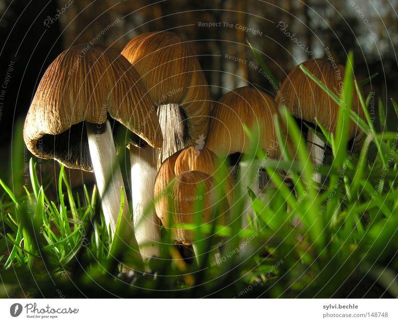 noch´n pils(z)? grün Ernährung Wiese Lebensmittel Gras klein Beleuchtung braun Wachstum stehen Boden Stengel lecker Pilz Lamelle