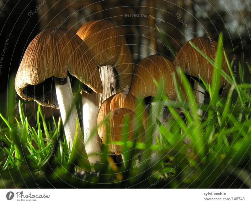 noch´n pils(z)? Lebensmittel Ernährung Gras Wiese stehen Wachstum klein lecker braun grün Pilz Beleuchtung Boden Lamelle Stengel Farbfoto mehrfarbig