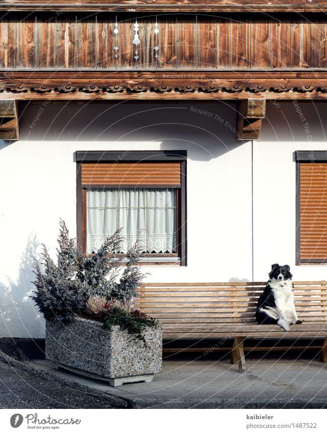 Watchdog Hund Pflanze weiß Erholung Tier Haus Fenster lustig grau braun Fassade Tourismus sitzen genießen beobachten Pause
