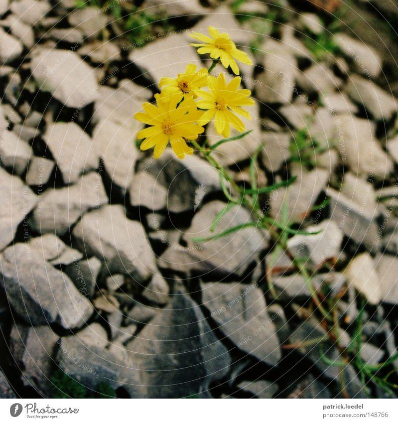 [H08.2] Hundeblume Natur Blume grün Pflanze ruhig Einsamkeit gelb Blüte Frühling grau Stein Kraft Felsen Erde kämpfen Grünpflanze