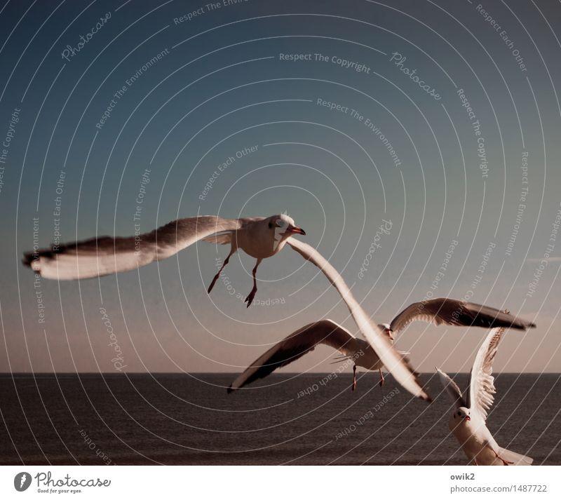 Zeit für Rebellen Umwelt Natur Landschaft Tier Wasser Wolkenloser Himmel Horizont Klima Schönes Wetter Ostsee Wildtier Möwe 3 beobachten fliegen Kommunizieren