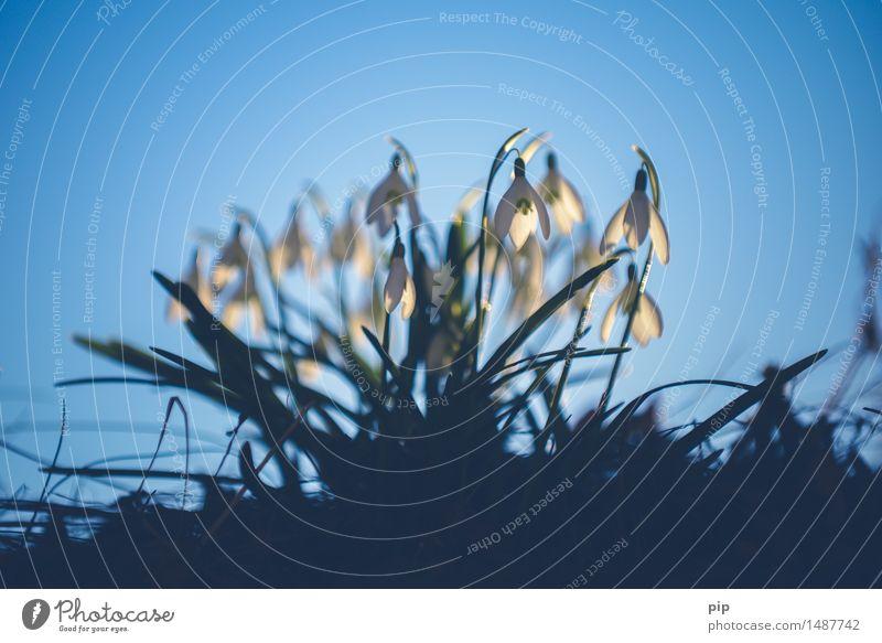 spring ins field Natur Pflanze blau weiß Blume kalt Frühling Garten Schönes Wetter Schneeglöckchen Februar Frühblüher Blütenkelch Amaryllisgewächse