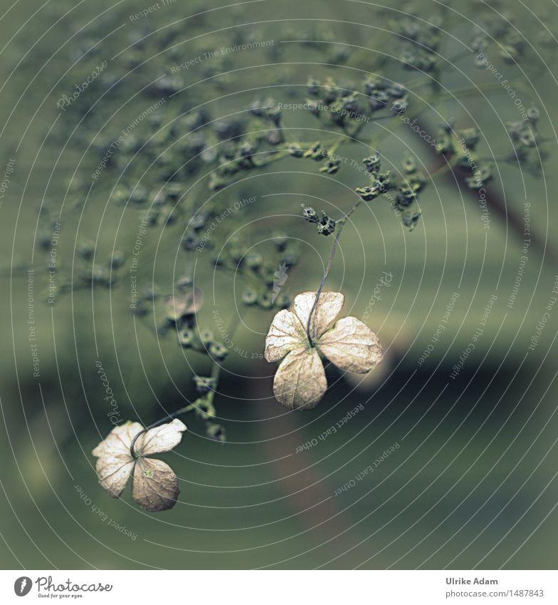 Blütenreste der Kletterhortensie Natur Pflanze grün schön Blume Winter dunkel Wärme natürlich Kunst außergewöhnlich Garten braun Park wild
