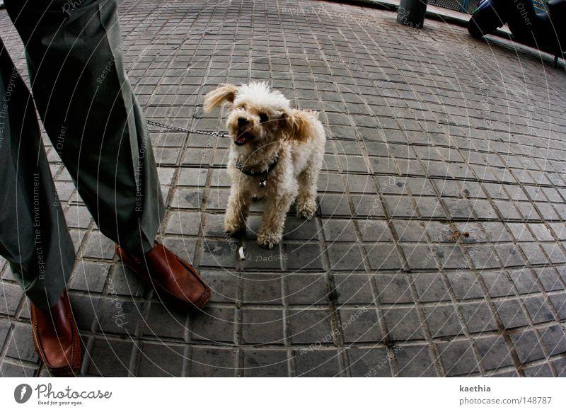 bitte lächeln! Straße Hund lachen gehorsam Pudel Plüsch Säugetier Mann Beine Fuß Freude grinsen Pflastersteine Stadt Stein Quadrat Schuhe Leder Haustier klein