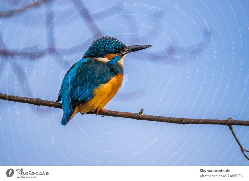 Blick in die Ferne - Eisvogel - Kingfisher Natur Pflanze blau weiß Baum Landschaft Tier schwarz Umwelt Küste See braun Vogel orange Wetter Wildtier