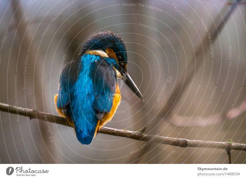 Auch ein blauer Rücken ... Umwelt Natur Pflanze Tier Baum Küste Seeufer Flussufer Strand Teich Bach Wildtier Vogel Tiergesicht Flügel Eisvogel 1 braun orange