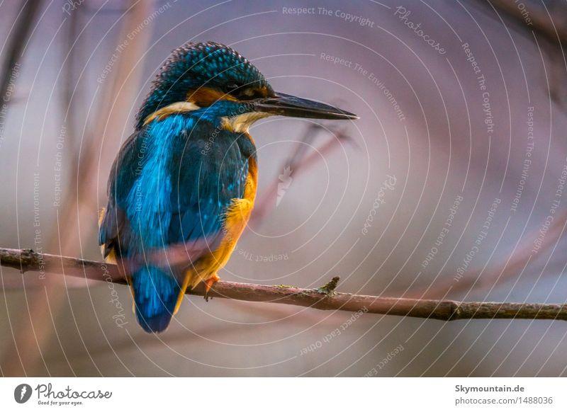 Eisvogel, Kingfisher Umwelt Natur Pflanze Tier Sonne Sonnenaufgang Sonnenuntergang Sonnenlicht Frühling Sommer Herbst Winter Wetter Schönes Wetter